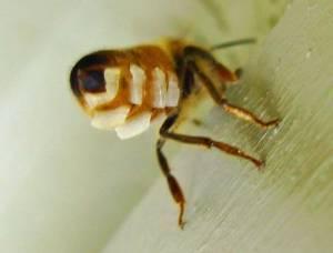 Una abeja segregando las escamas de cera en su abdomen